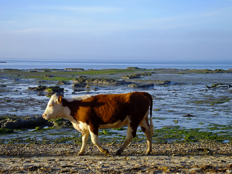 cow, beach, new forest, cattle, hereford cow,